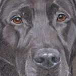 Harry - Black Labrador