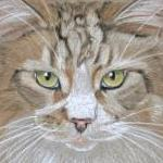 Woody -main coon cat