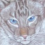 Sequoia - Chocolate Point Tabby Siamese