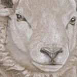 Texel Sheep - Tommy's portrait