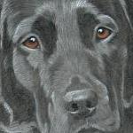 Gem - Black Labrador