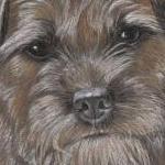 Tilly - Border Terrier