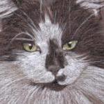 Fluffy - long haired black and white cat