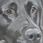 Freddie - black labrador