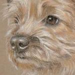 Tara - Border Terrier