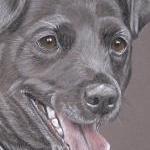 Jet - Patterdale Terrier