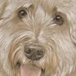 Chester - Polish Lowland Sheep Dog