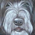 Bobbie - Bearde Collie