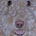 Sparkey - Curly Lakeland Terrier