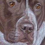 Tyson - Staffie x American Bulldog