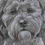 Trudie - Shih Poo ( shih tzu x poodle)