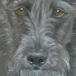 Monty - Bedlington x whippet (small lurcher)