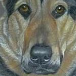 Fonzie - GSD x Rottweiler