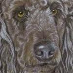 Cracker - Standard Poodle