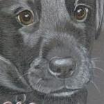 Tyson - black lab pup