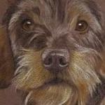 Freddie - wire haired dachshund