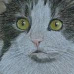 Holly - maine coon cat