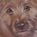 Henry - Cairn Terrier