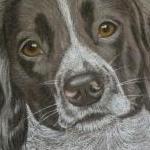 Layla - Springer Spaniel Portrait