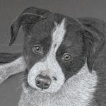 Border Collie Pup - Tash