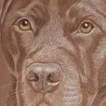 Chocolate Labrador - Toby
