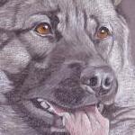 Kasper - Norwegian Elkhound
