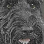 Robbie - Scottie - Scottish Terrier