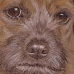 Sully - Border terrier