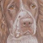 Dougie - Springer Spaniel