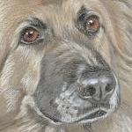 Aspen - German Shepherd Portrait