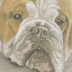 Missy - bulldog