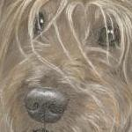 Mac - Irish Terrier