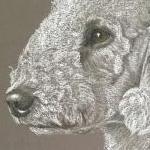 Belle - Bedlington Terrier