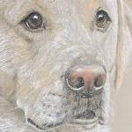 Tuff - Yellow Labrador