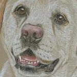 Max - yellow labrador