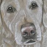 Lucy - Golden Retriever