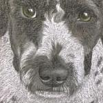 Coco - Spanish Water Dog