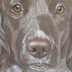 Darcy - Springer Spaniel