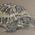 Thiago - Tortoise