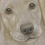 Sandy - yellow labrador puppy