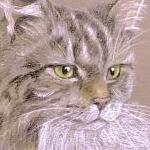 Smirnoff - fluffy tabby and white cat