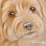 Daisy - Yorkshire Terrier