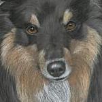 Seona - Shetland Sheep Dog
