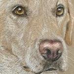 Bosun - Yellow Labrador Portrait