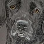Maggie - Black Labrador Portrait