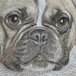 Shug - French Bulldog Portrait
