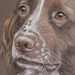 Lola - Springer Spaniel Portrait