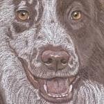 Laddie - liver and white border collie portrait
