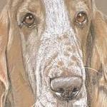 Harry - Basset Hound Portrait