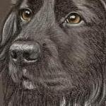 Archie - Black Cocker Spaniel Portrait